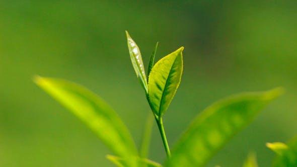 Thumbnail for Tea Plants In Munnar 1