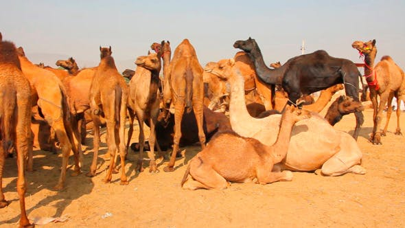 Thumbnail for Pushkar Camel Fair 1