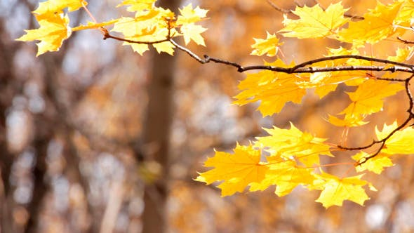 Thumbnail for Autumn Bright Yellow Leaves