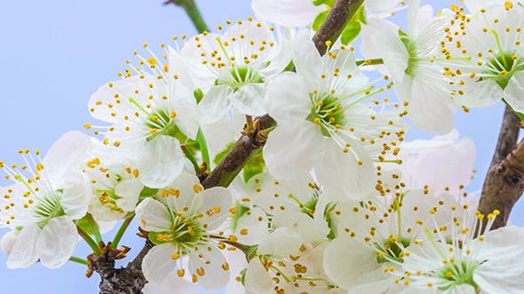 Cover Image for Wild Plum Flower Blossoming 1