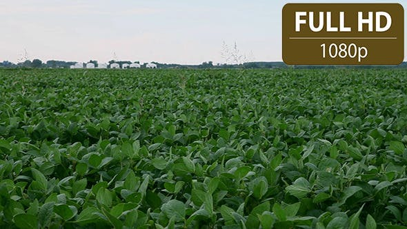 Thumbnail for Soy Bean Field 1