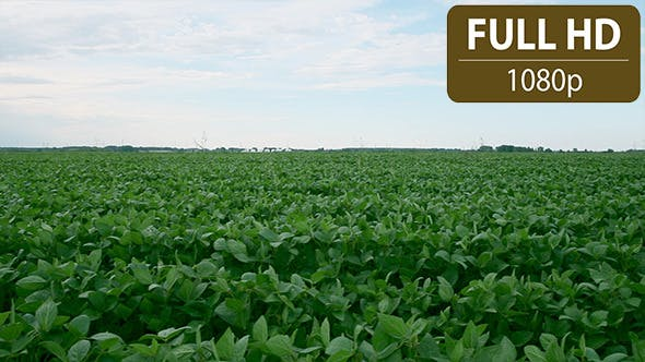 Thumbnail for Soy Bean Field 3