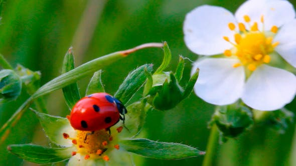 Thumbnail for Ladybug On Flower 1