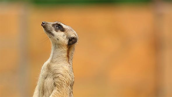 Thumbnail for Meerkat