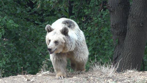 Thumbnail for Real Wild Bear in Natural Environment 2