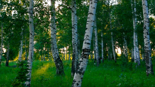 Thumbnail for Birch Woods In Russia