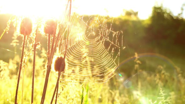 Thumbnail for Cobwebs in the Meadow and Shining Sun