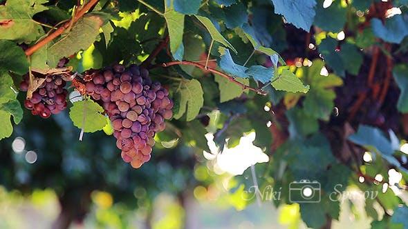 Thumbnail for Grapes in Vineyard