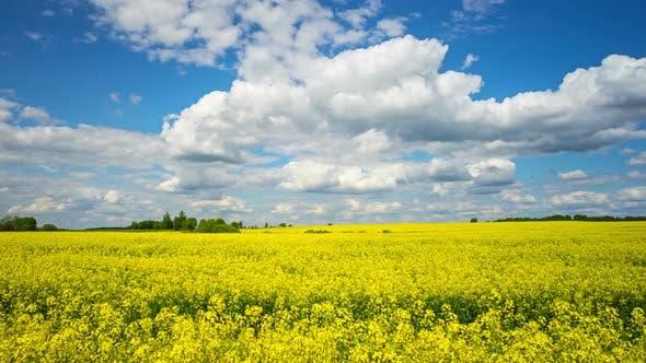Blooming rapeseed field