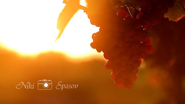Thumbnail for Red Grape at Sunset