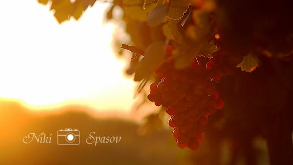 Thumbnail for Grapes and Sunset