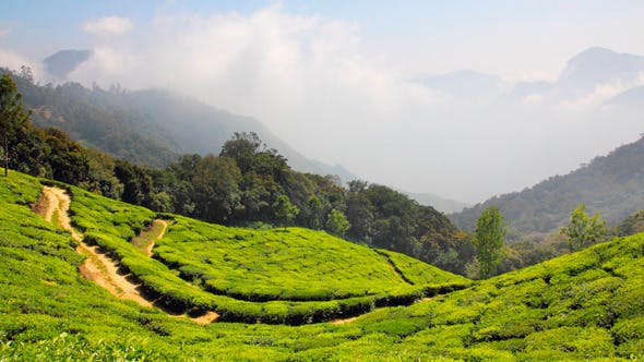 Thumbnail for Mountain Tea Plantation In Munnar