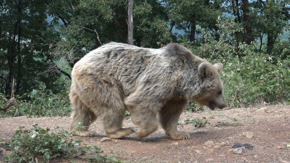 Thumbnail for Bear Walking on a Path