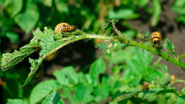 Colorado Käfer Larve Landwirtschaft Schädling