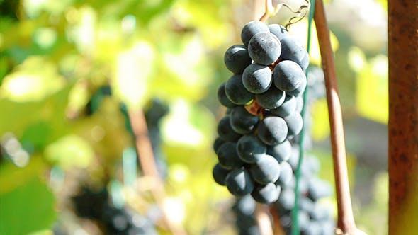 Thumbnail for Purple Grapes 5