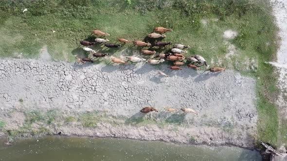 Thumbnail for Cows walk along river bank