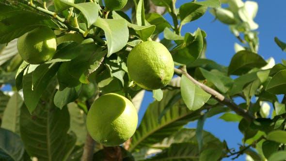 Thumbnail for Unripe Green Lemons on the Branch Tree 868