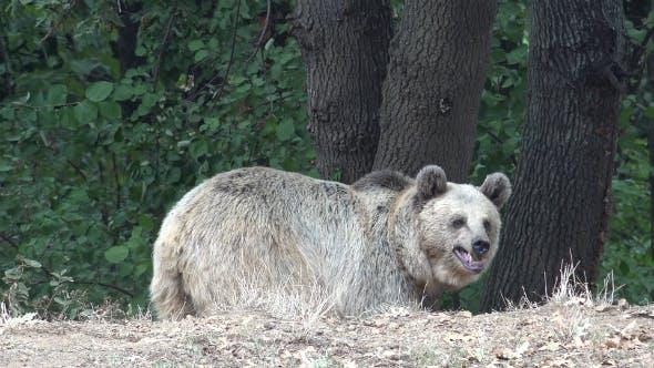 Thumbnail for Anxious and Fearful Bear
