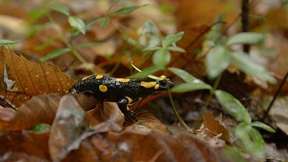 Yellow-Black Salamander