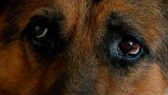 Thumbnail for German Shepherd Eyes