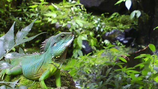 Thumbnail for Iguana in Green Amazon Jungle