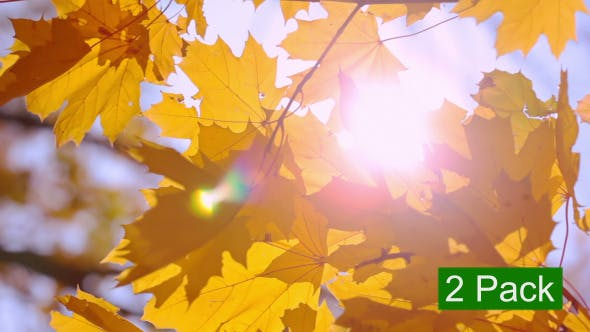 Thumbnail for Gold Maple Leaves and Sun (2-Pack)
