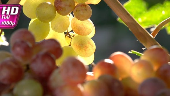 Thumbnail for Rich Harvest of Grapes