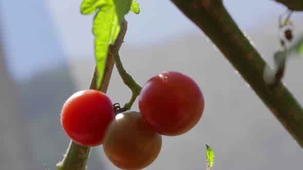 Thumbnail for Tomato