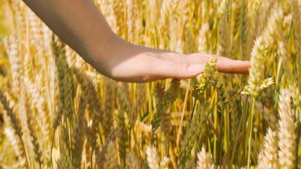 Thumbnail for Woman Touching Ripe Wheat