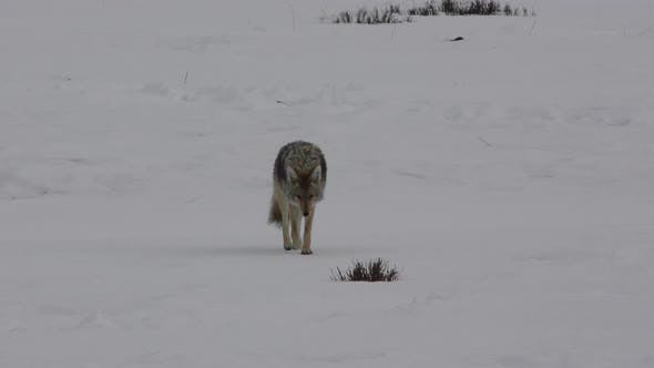 Thumbnail for Coyote Adult Lone Urinating Peeing in Yellowstone National Park Wyoming
