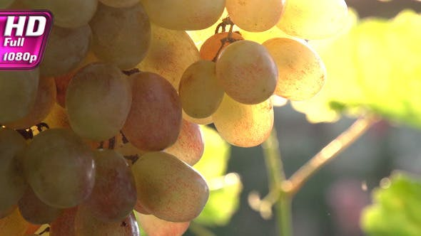 Thumbnail for Bunch of Grapes in the Sun