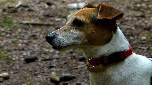 Thumbnail for Jack Russell Terrier 2