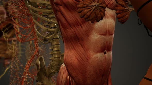 Thumbnail for Animated 3D Human Anatomy Illustration