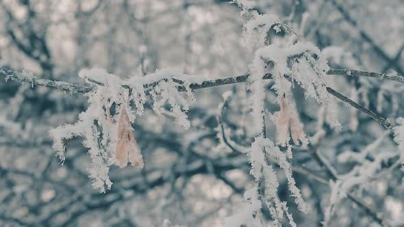 Tree Twigs with Hanging Seeds Covered with Frost Slow Motion