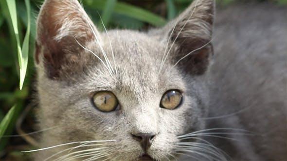 Thumbnail for Grey Kitten Portrait