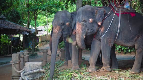 Thumbnail for Elephants for safari eating cane leaves at farm in the jungle in Phuket