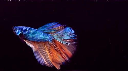 Siamese Fighting Fish Betta Splendens 29