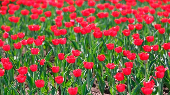 Thumbnail for Field Of Red Tulips Blooming