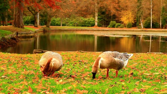 Thumbnail for Geese in the Autumn Park