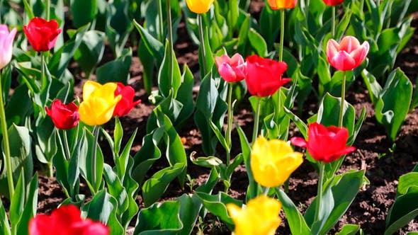Thumbnail for Field Of Blooming Different Color Tulips