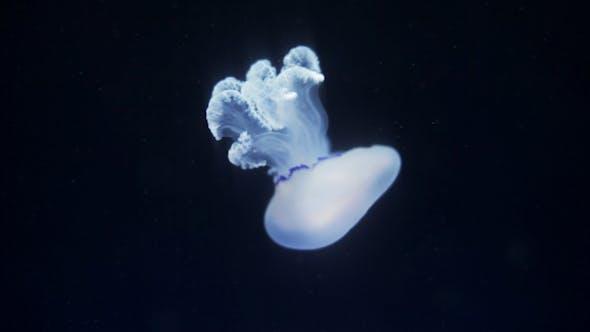 Thumbnail for Jellyfish Sealife Marine Aquarium Wildlife Underwater