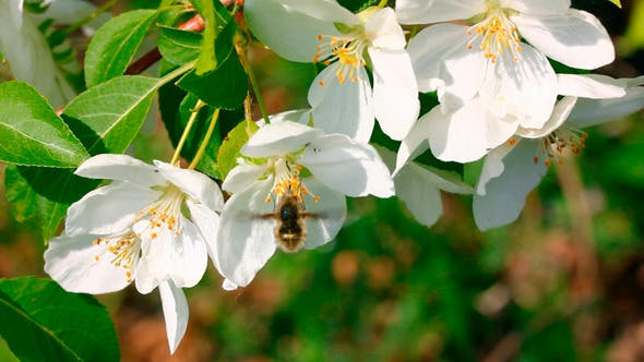 Thumbnail for Bee Pollination And Apple Tree Flowers