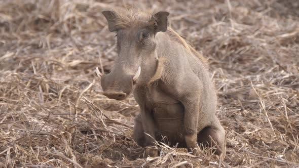 Thumbnail for Warthog peeing at Diawling National Park