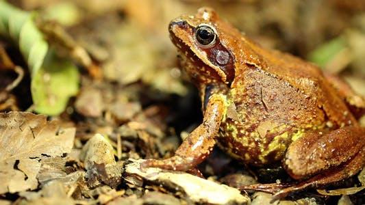 Thumbnail for Frog