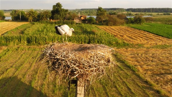 Thumbnail for Young Stork in Nest