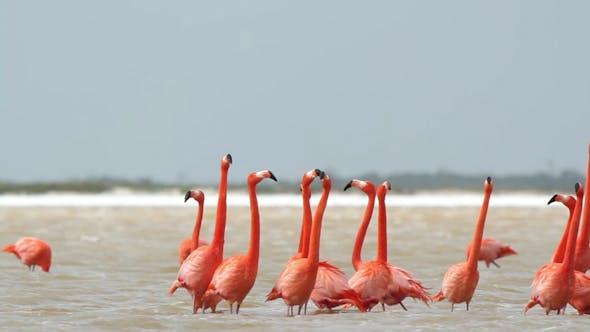 Thumbnail for Pink Flamingo Mexico Wildlife Bird