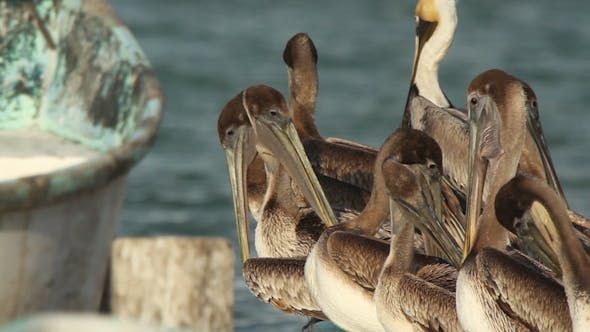 Thumbnail for Brown Pelicans Mexico Wildlife