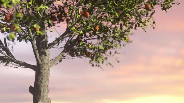 Thumbnail for Red Apples In A Tree At Sunset