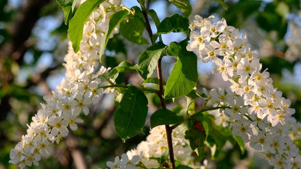 Thumbnail for Blossom Bird Cherry Tree Flowers