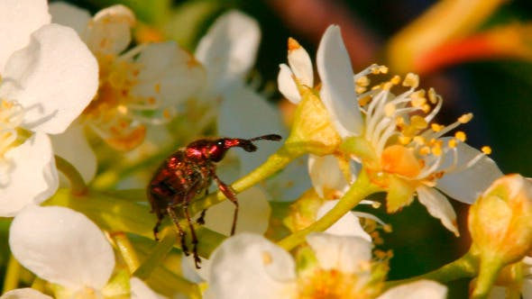 Thumbnail for Small Bug On Cherry Tree Flowers